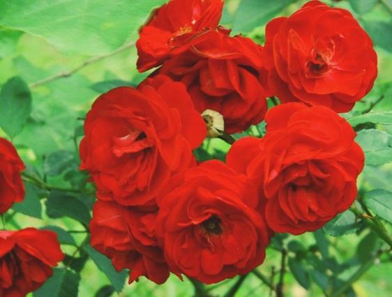mawar-merah1
