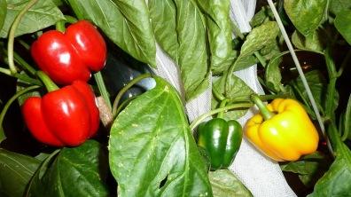 Hasil gambar untuk paprika