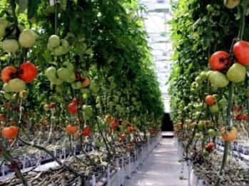 tomat-iki