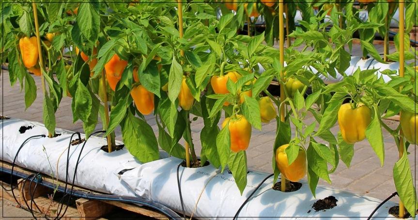 Greenhouse Tempat Budidaya PaprikaHidroponik