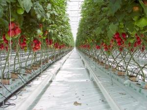 tomat-hidroponik