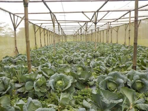 Sayuran-Kubis