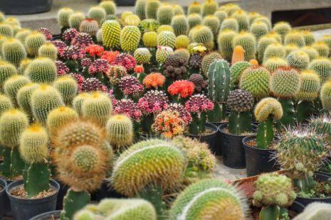 Tanaman Hias Kaktus Sukulen