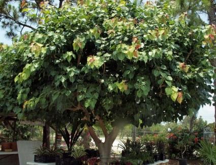 Tanaman Hias Pohon