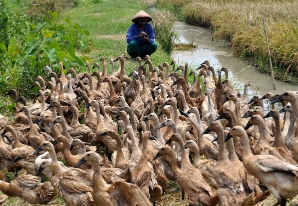 Seorang peternak bebek berpindah   menggembala bebek piaraannya di persawahan desa Pucangrejo, Pegandon, Kendal, Jateng,