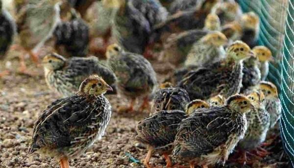 Syarat Beternak Burung Puyuh